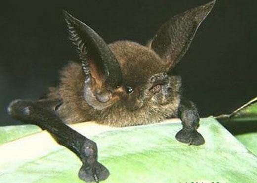 sucker footedbat Sucker Footed Bat