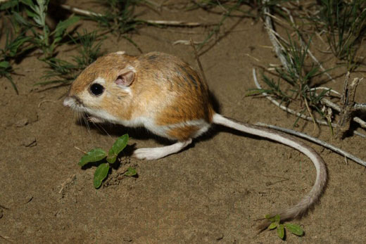 Dipodomys - the kangaroo rat