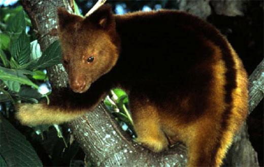 The Tree Kangaroo