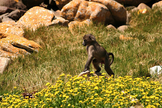 Young Chacma Baboon in South Africa.