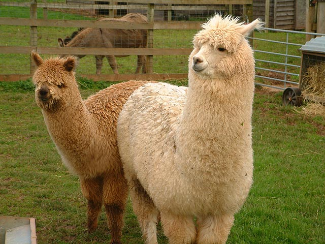 Two Alpacas in captivity