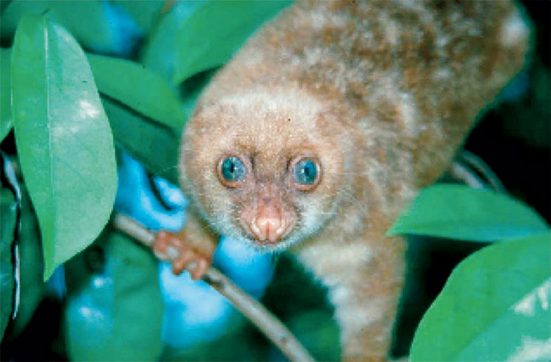 A young Cuscus in the trees