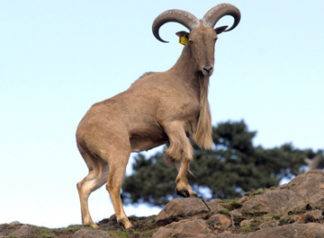 37C316C3 9835 4927 95339F013858ECE5 Barbary Sheep