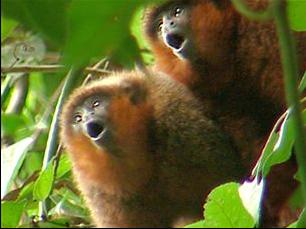 Titi monkeys performing their ritual morning calls