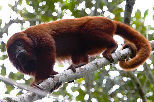 Venezuelan Red Howlers are slow but steady climbers