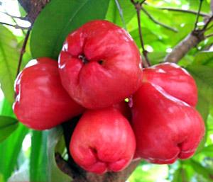 Jambu tree