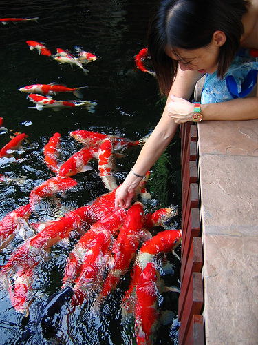 Koi japanese carp cyprinus carpio fish for Koi feeding