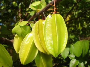 The Carambola is also known as a starfruit