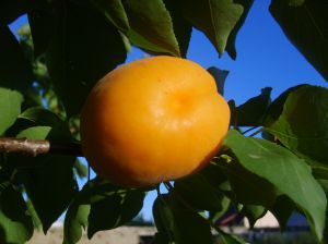 A young apricot growing on the tree