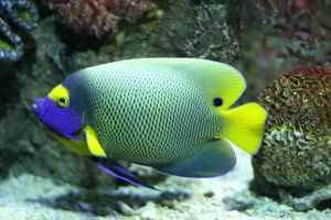 A colourful angelfish