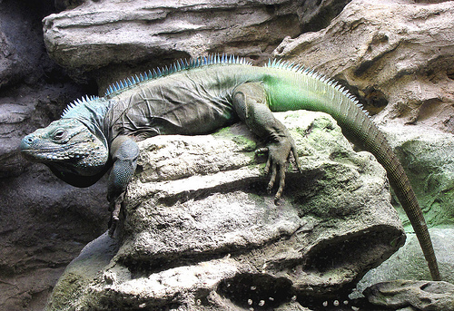 Blue Iguana's like to live in rocky, sunlit areas