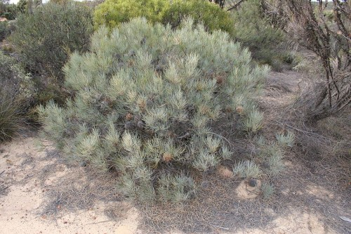 The Round-fruit Banksia with blue-grey foliage