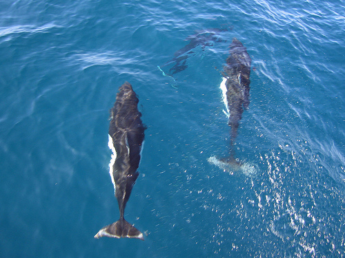 Dall's porpoise love to bowride