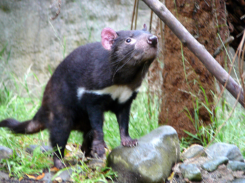 Tasmanian Devils are being relocated to the Australian mainland